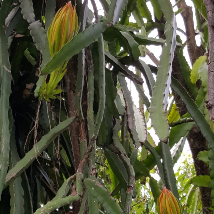 Dragon Fruit variety Hana plant