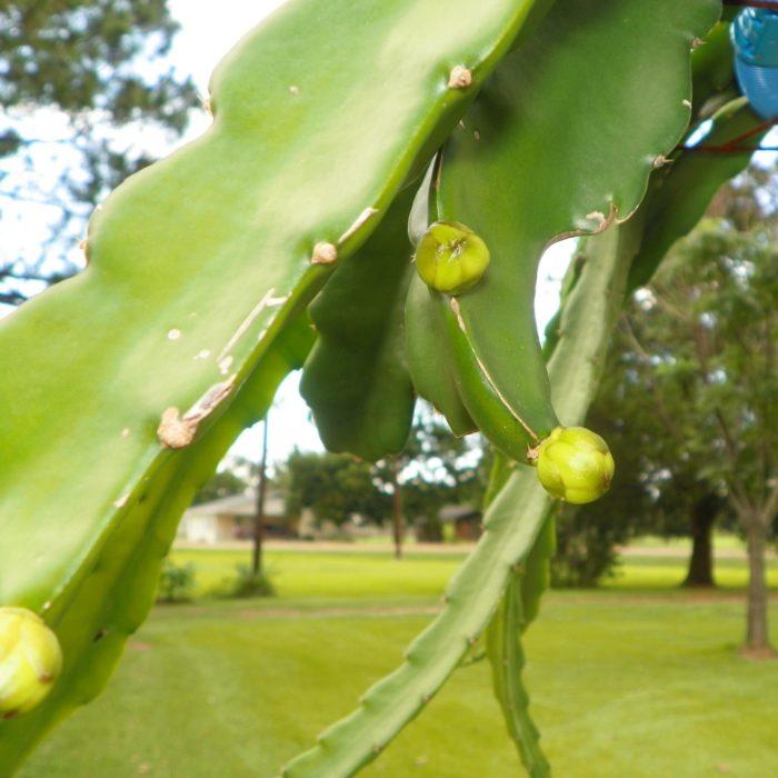 Dragon Fruit variety Harpua flower bud
