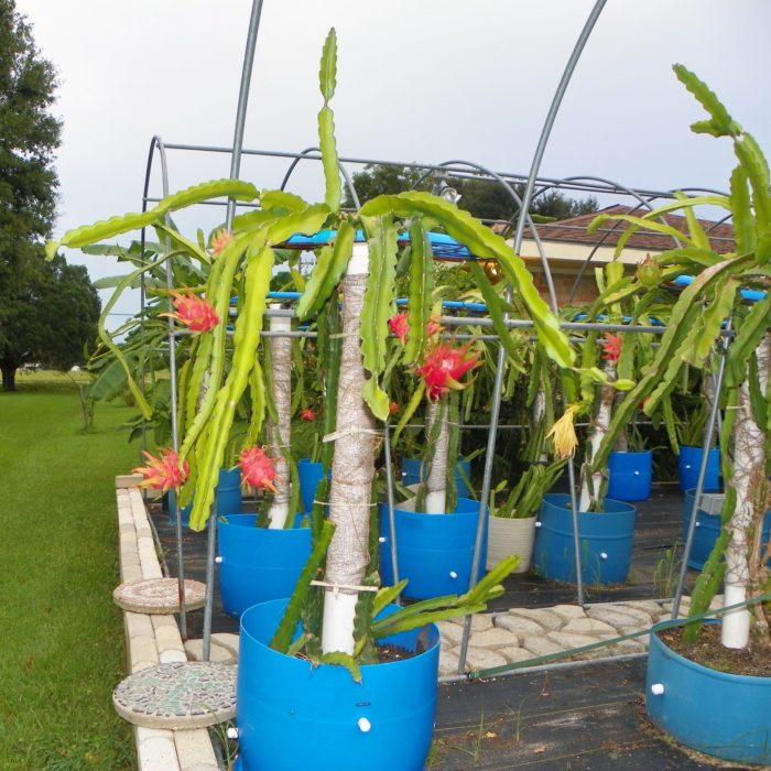 Dragon Fruit variety Harpua plant