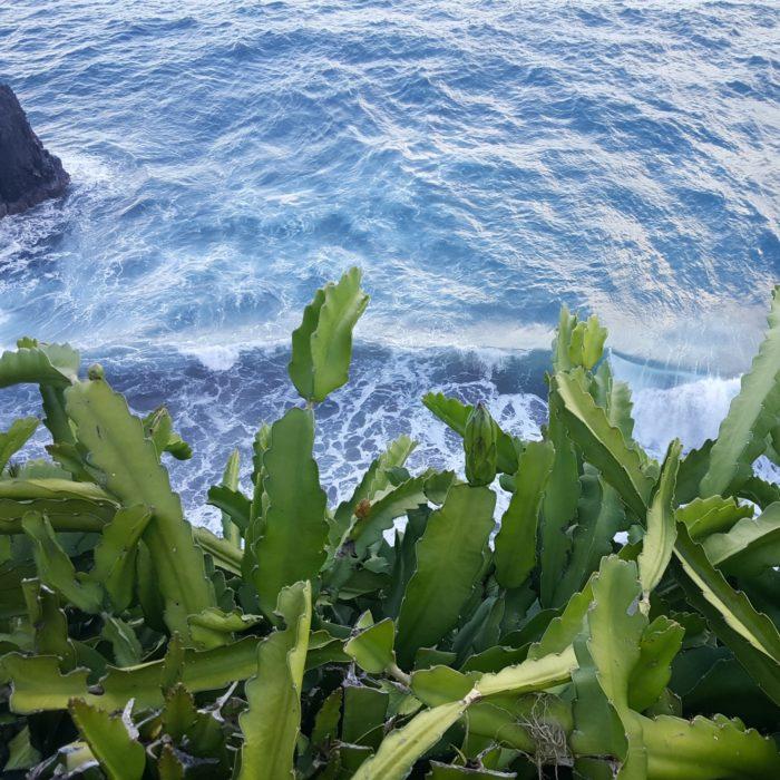 Dragon Fruit variety Maui Dragon Plant