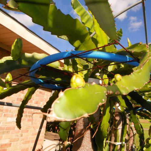 Dragon Fruit variety Maui Dragon flower bud
