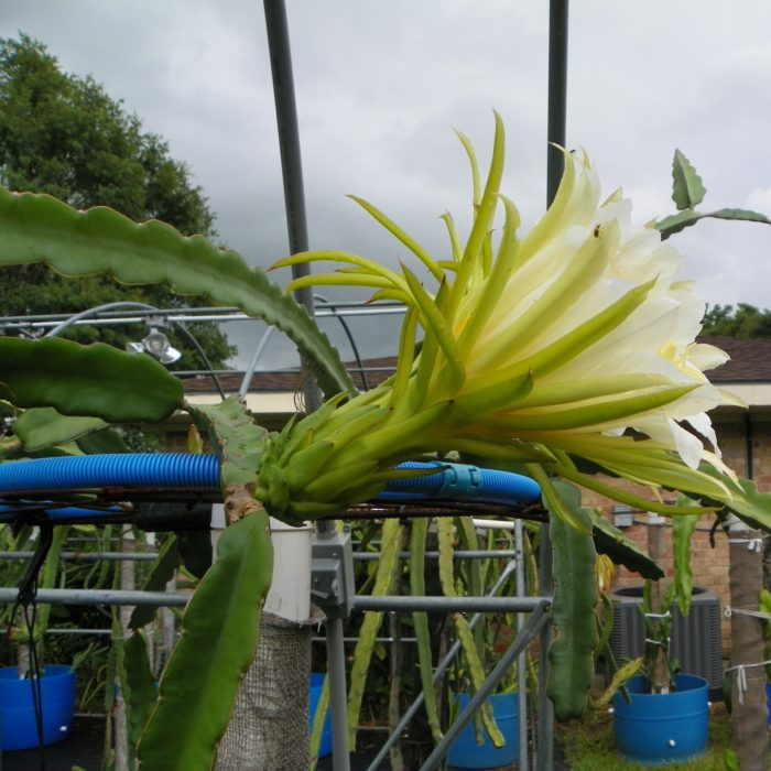 Dragon Fruit variety Maria Rosa flower