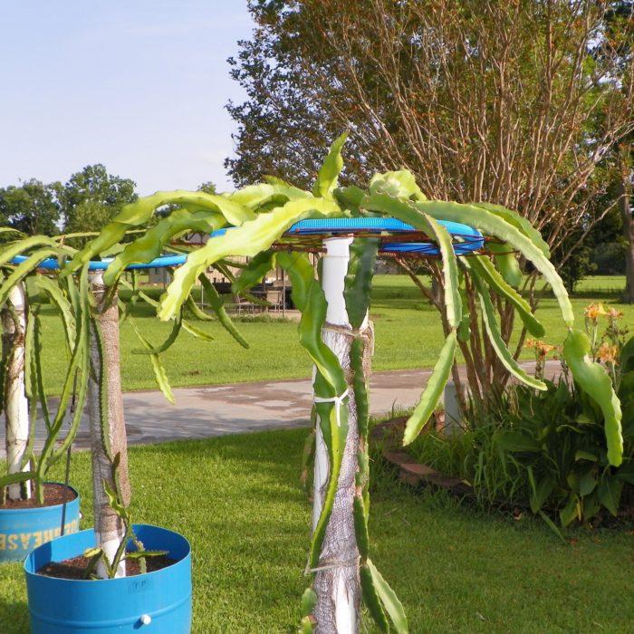 Dragon Fruit variety Makisupa plant
