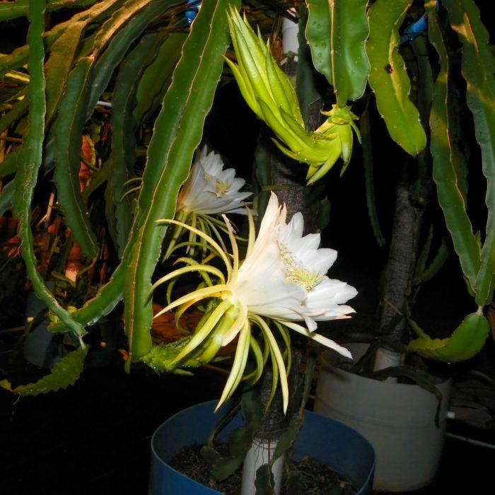 Dragon Fruit variety Mexicana flower