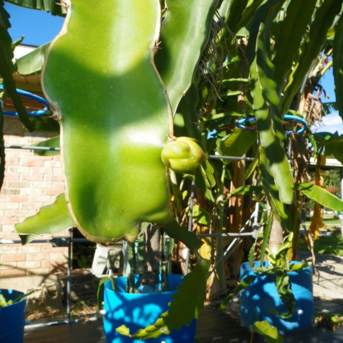 Dragon Fruit variety Mexicana flower bud