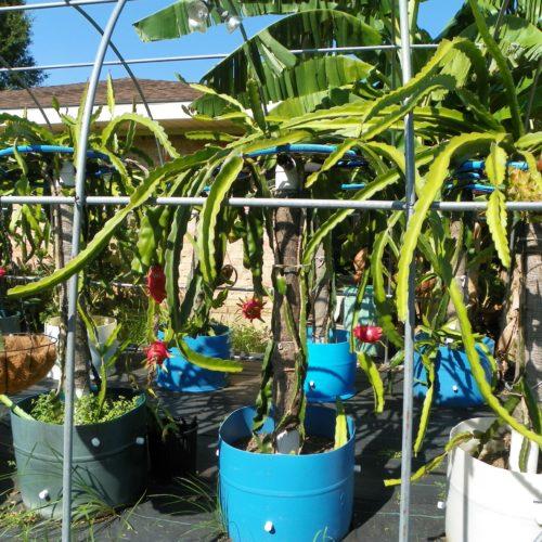 Dragon Fruit variety Mexicana plant