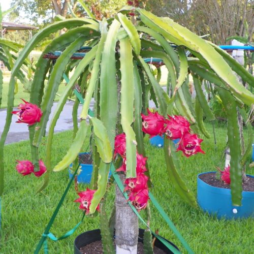 Dragon Fruit variety Natural Mystic plant
