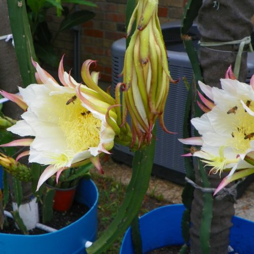 Dragon Fruit variety Neon flowers