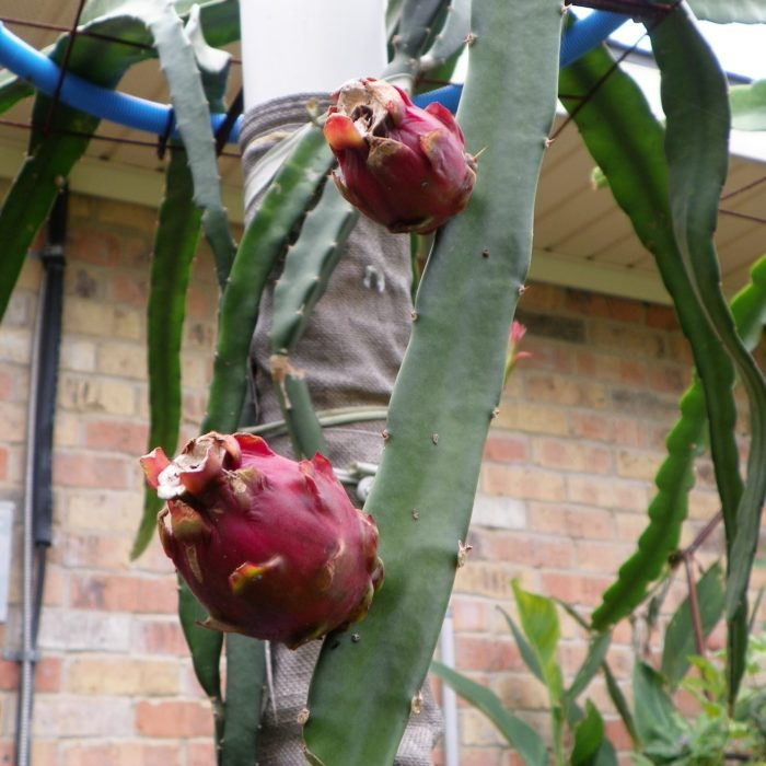 Dragon Fruit variety Neon fruit on the vine