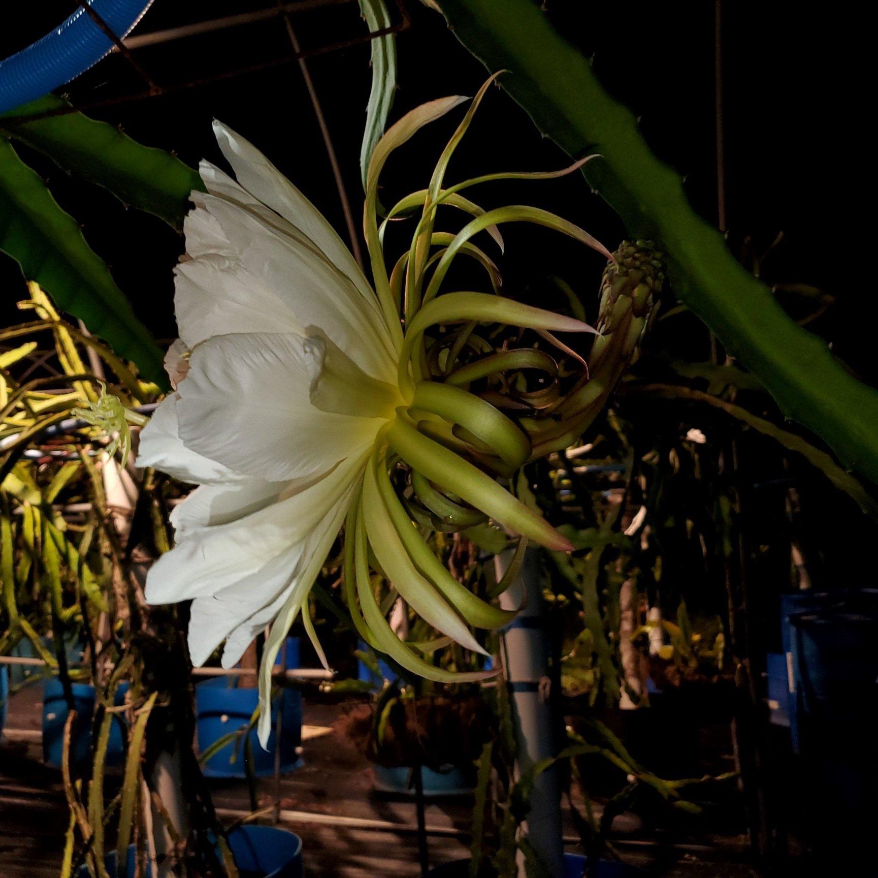 Ohana Express Dragon Fruit Flower