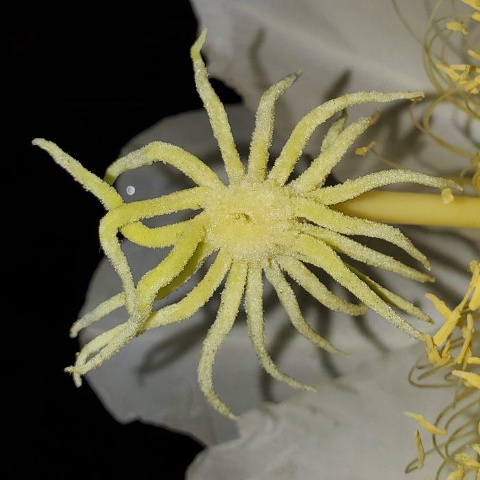 Ohana Express Dragon Fruit Flower Stigma