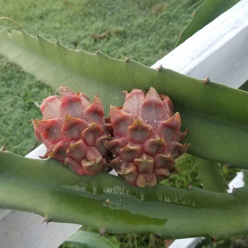Ohana Express Dragon Fruit from Hawaii