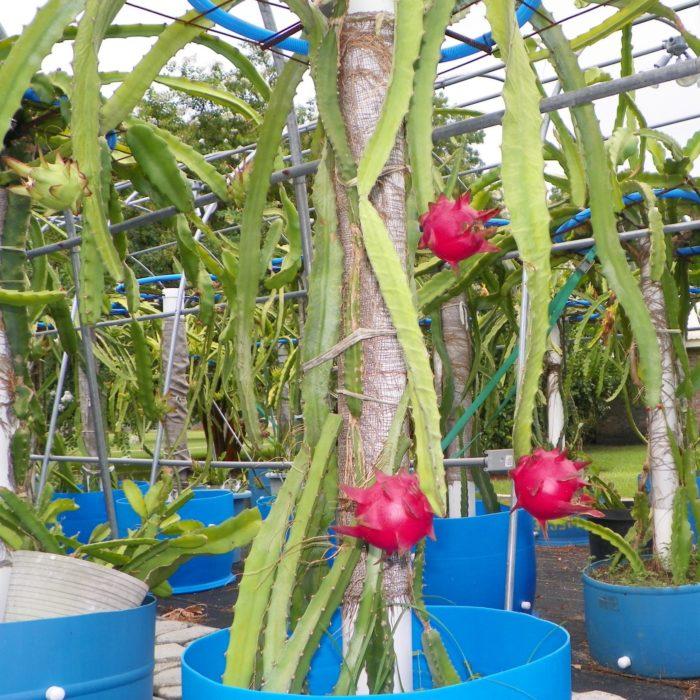 Dragon Fruit variety Orejona Plant