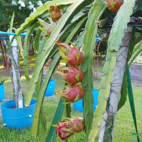 Dragon Fruit variety Physical Graffiti fruit