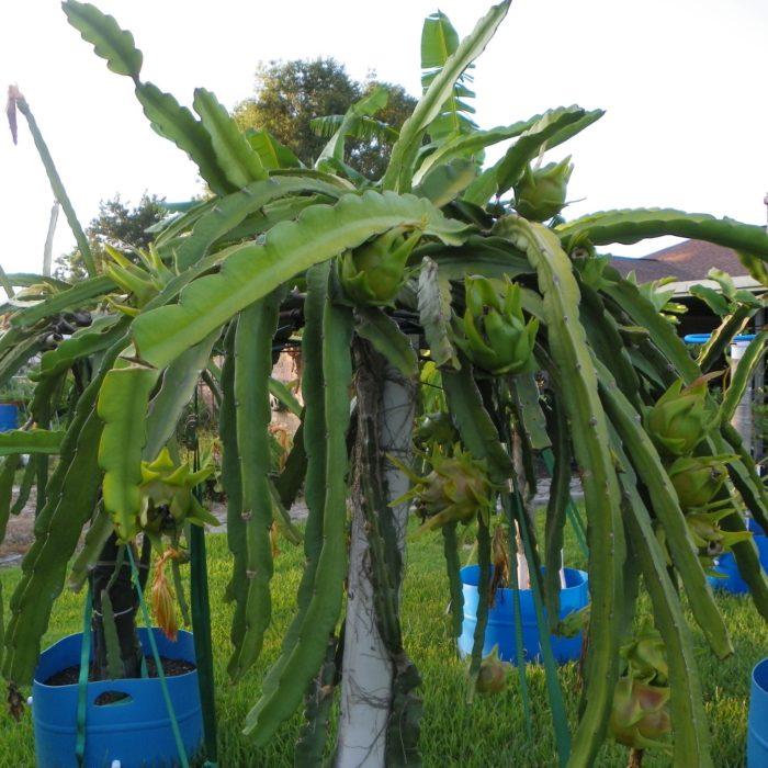Dragon Fruit variety Physical Graffiti plant