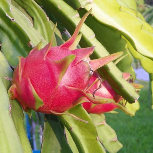Dragon Fruit variety Purple Haze fruit