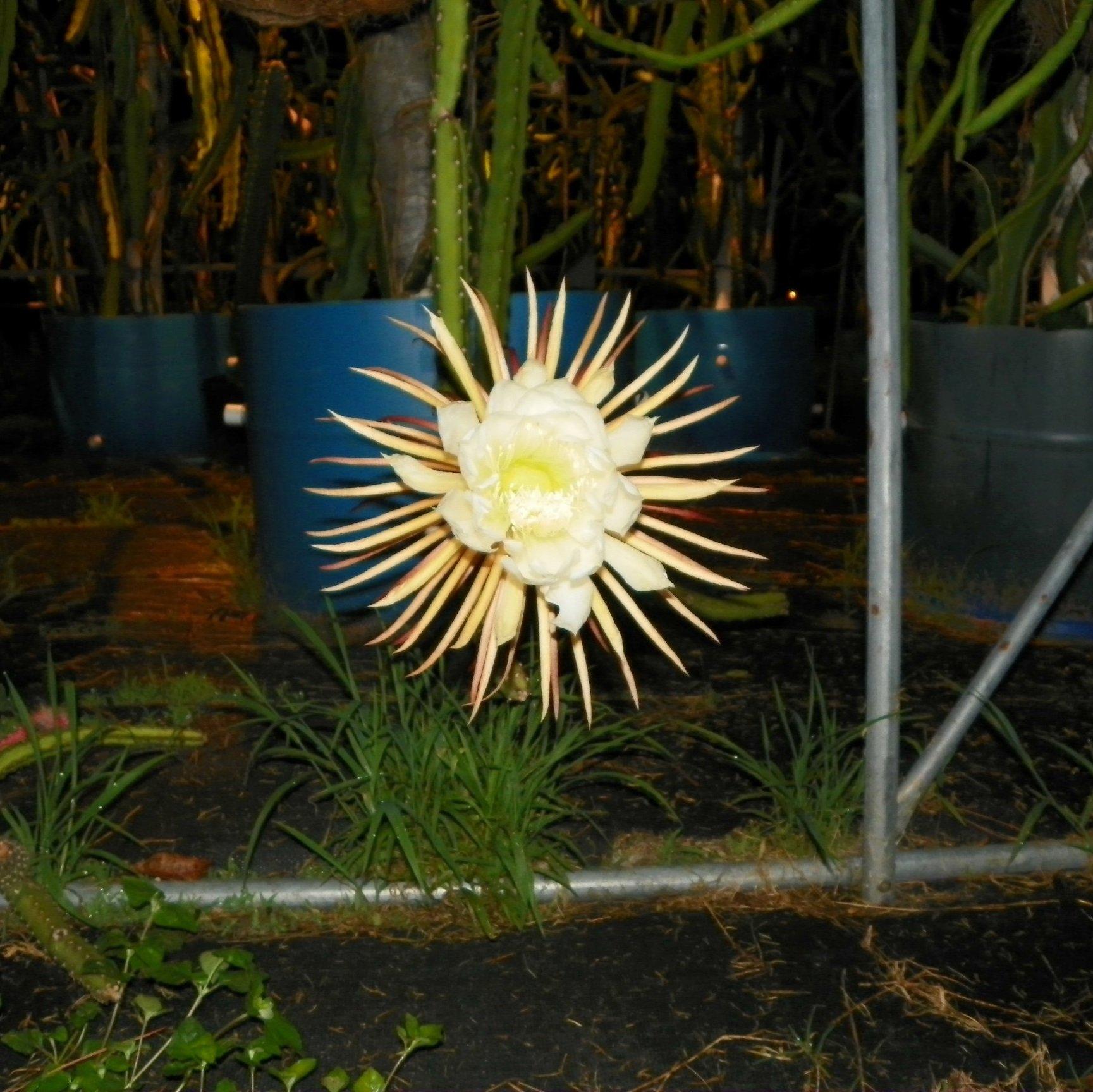 Selenicereus pteranthus Flower