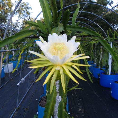 Hylocereus peruviaus Dragon Fruit Flower