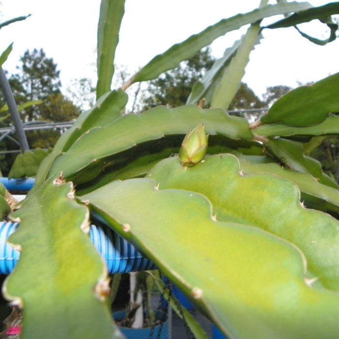 Paisley Dragon Fruit Flower Bud