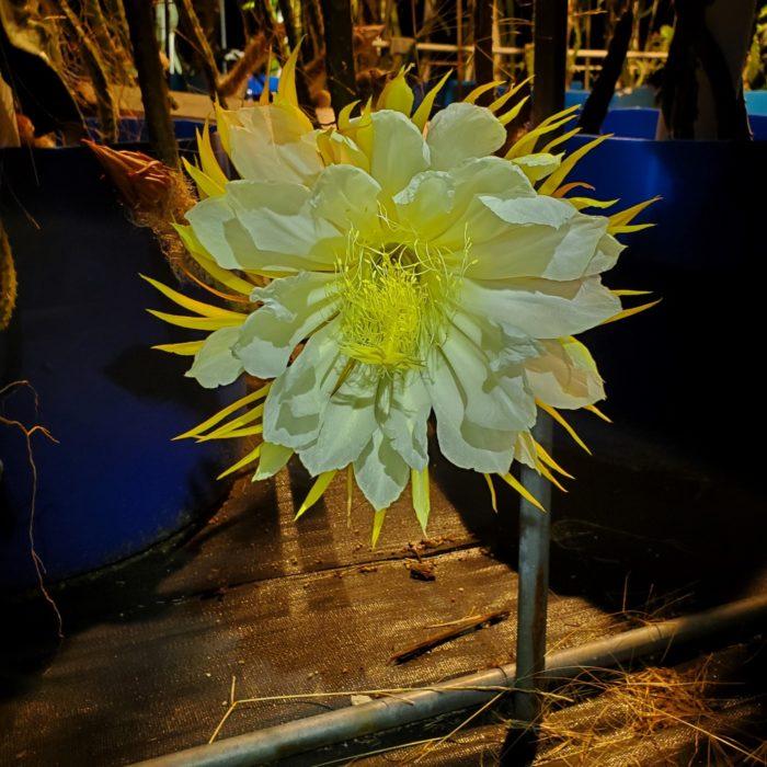 Selenicereus grandifloras flower