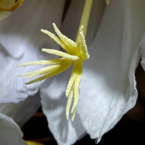 Selenicereus grandifloras flower stigma