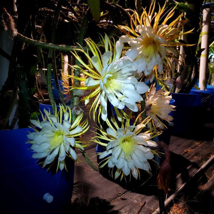 Selenicereus grandifloras flowers