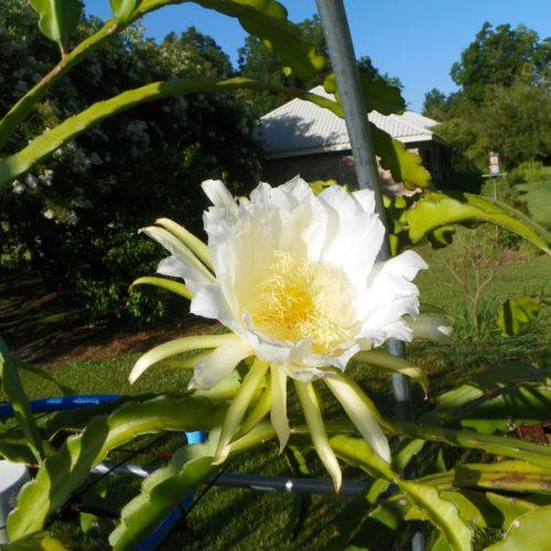 Dragon Fruit variety Rixford flower