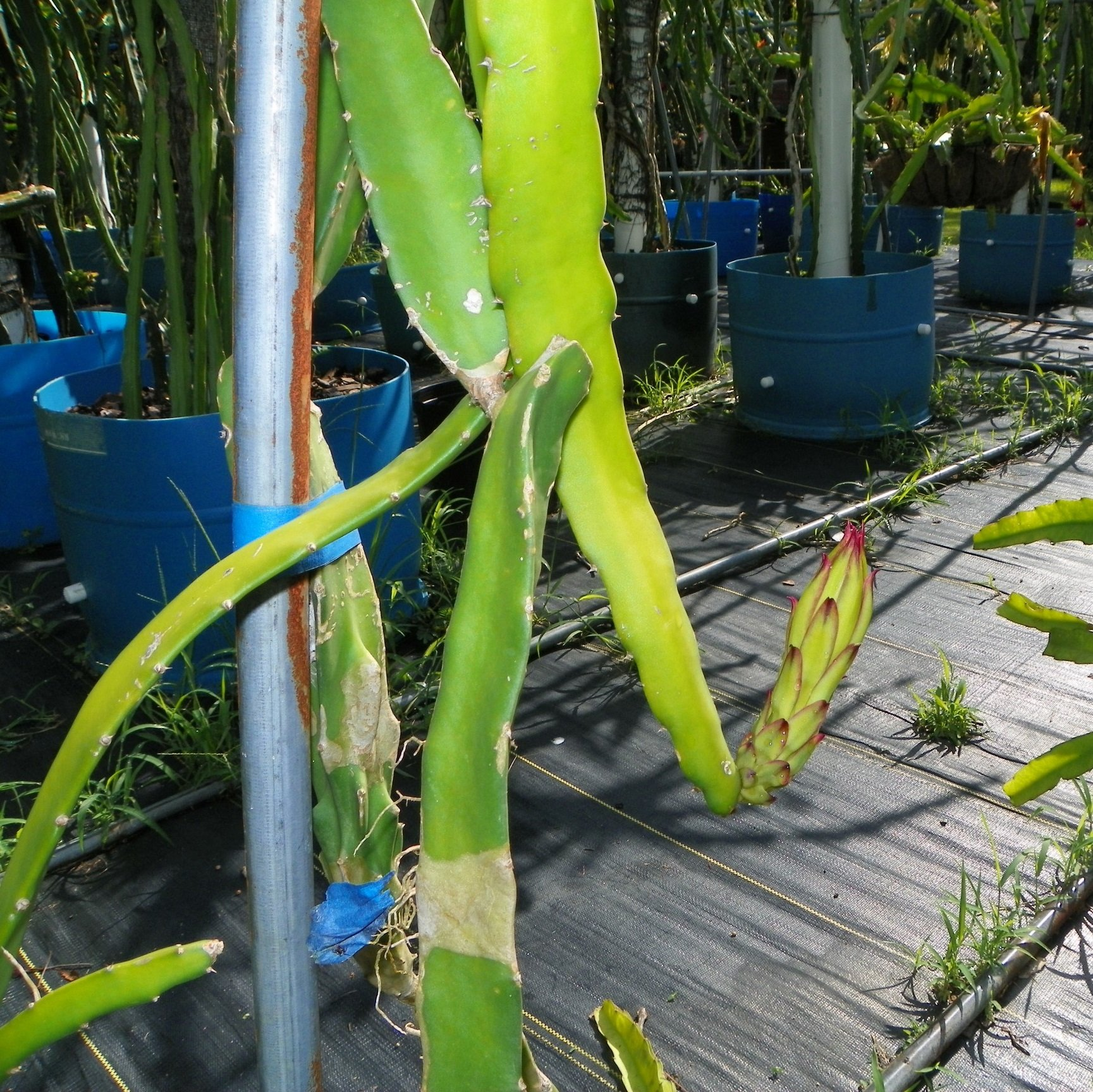 Sugar Dragon Dragon Fruit Flower bud