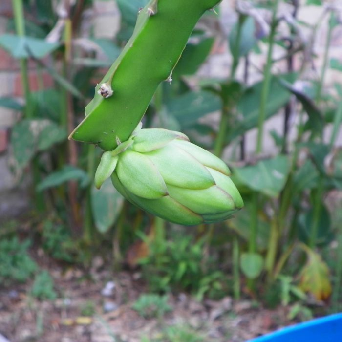 Dragon Fruit variety Seoul Kitchen flower bud
