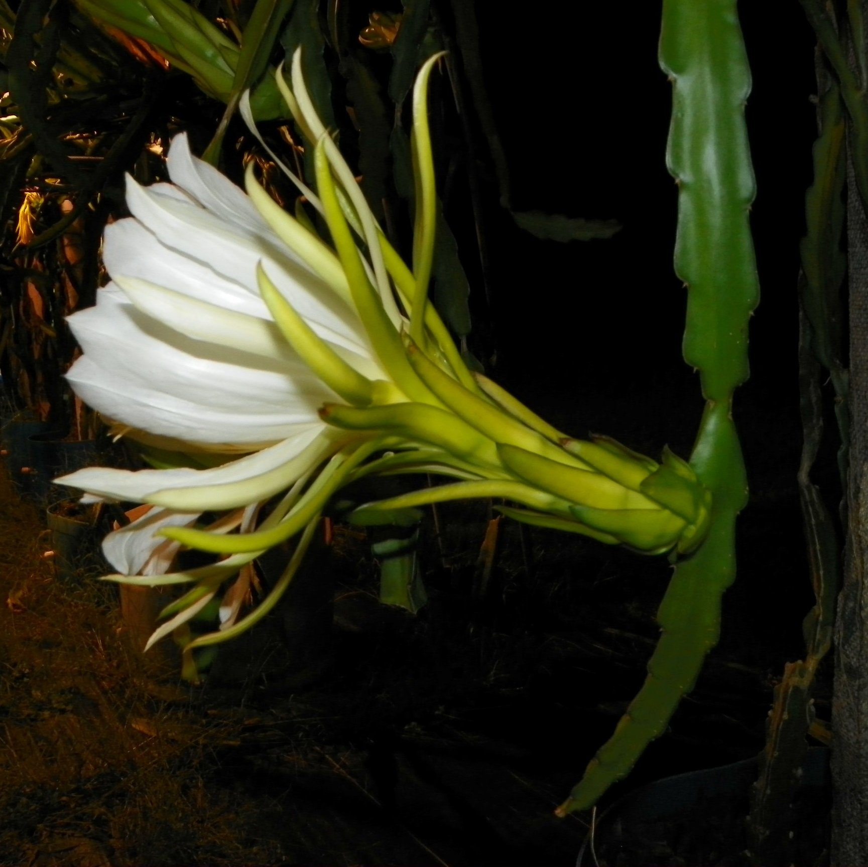 Shayna Dragon Fruit Flower