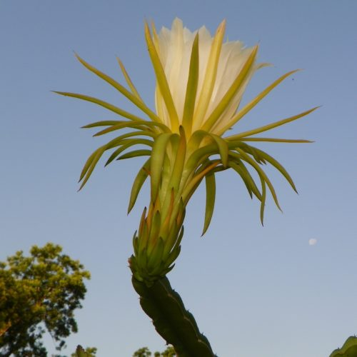 Dragon Fruit variety Thai Dragon flower