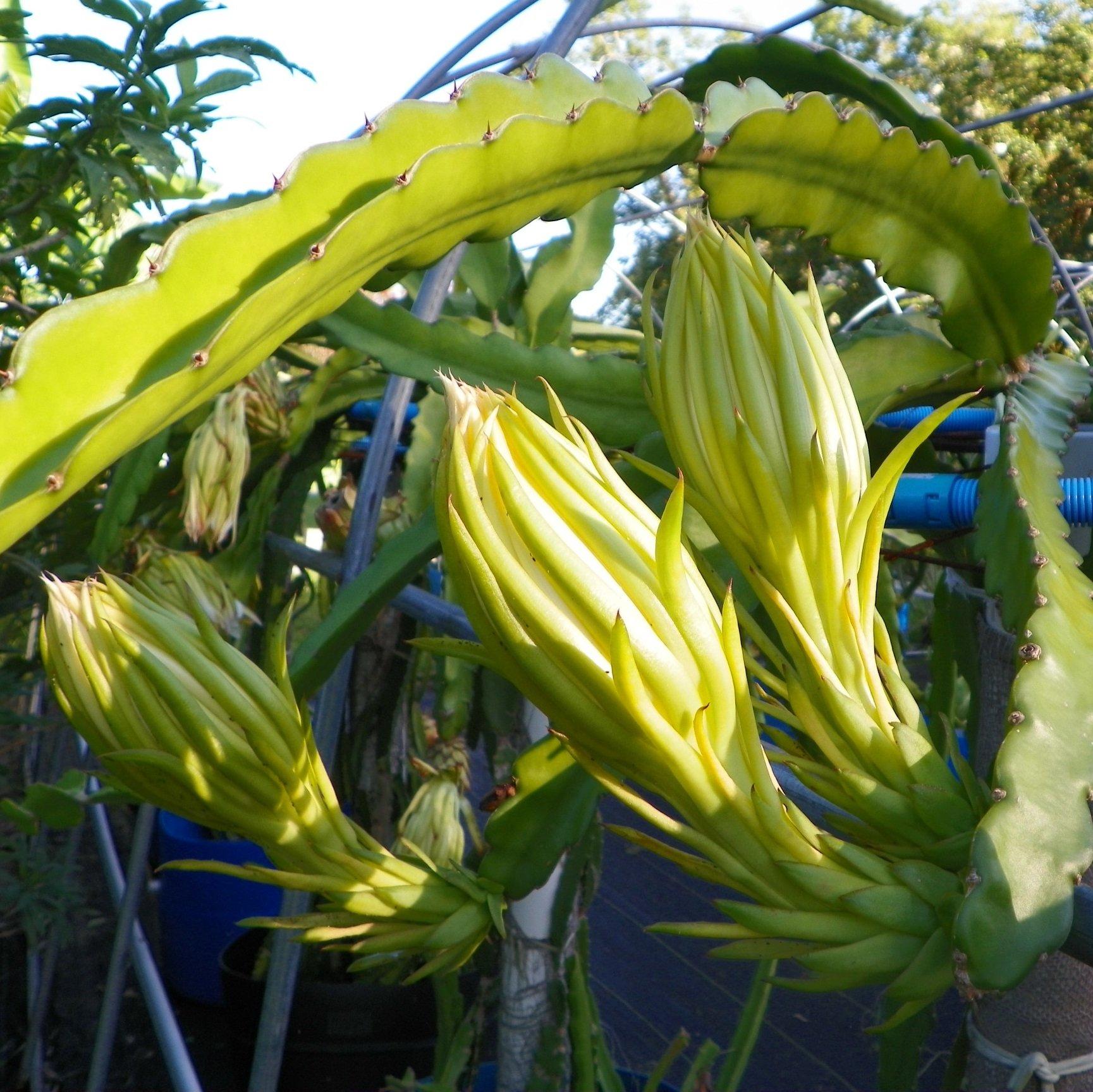 Dragon Fruit variety Thomson flower