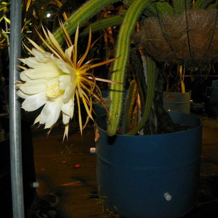 Selenicereus validus Flower