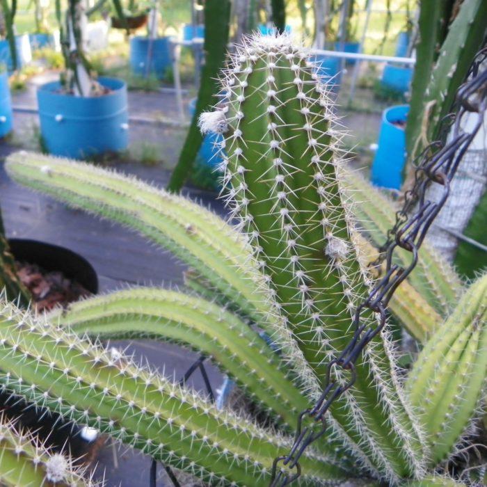 Selenicereus validus Flower Bud