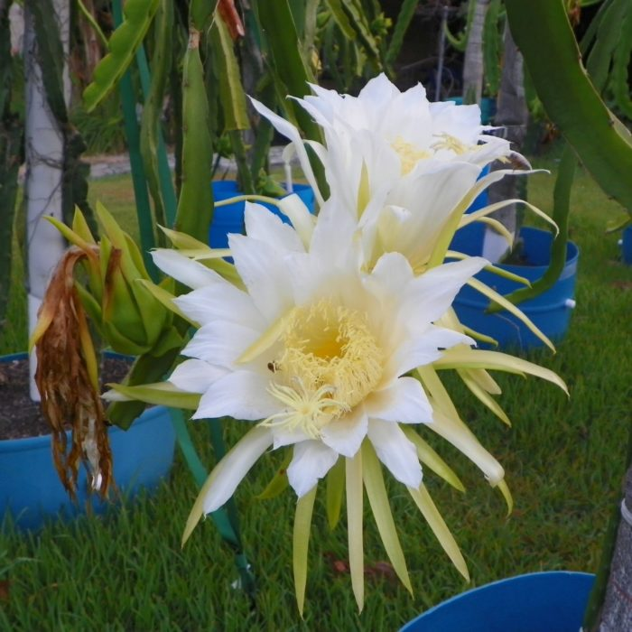 Dragon Fruit variety Vietnamese White flower