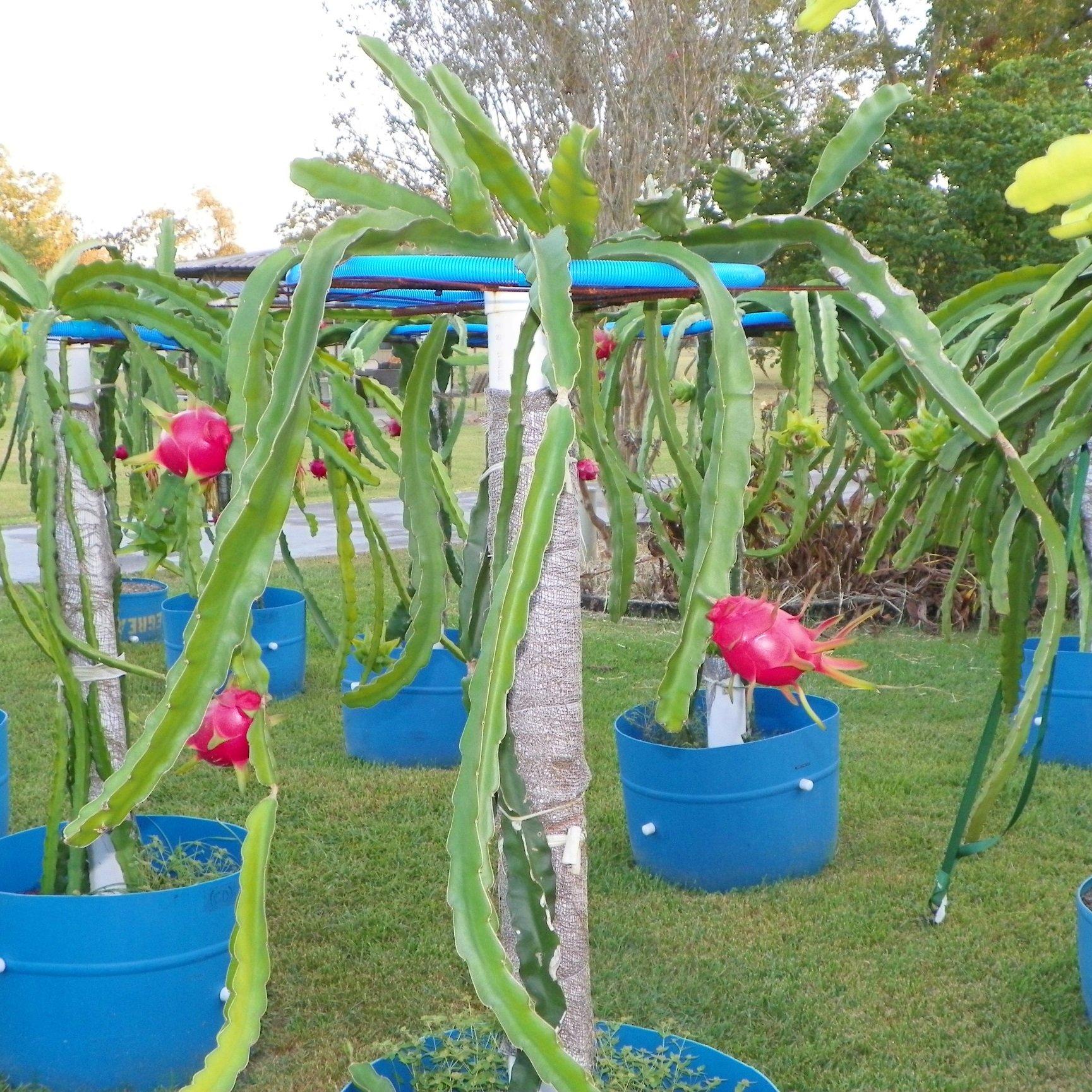 Dragon Fruit variety Vietnamese White plant