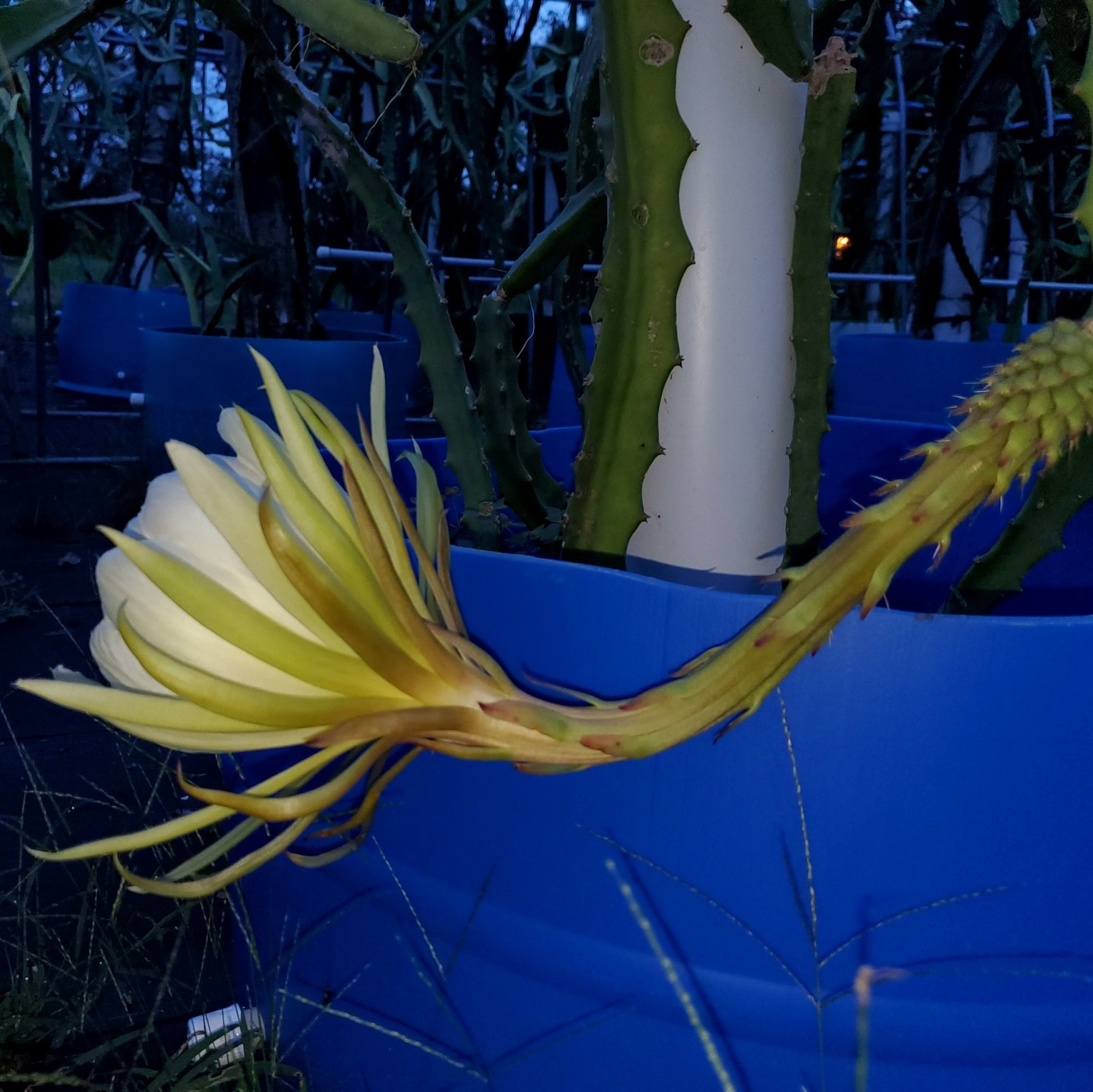 Yellow Dragon Fruit Flower
