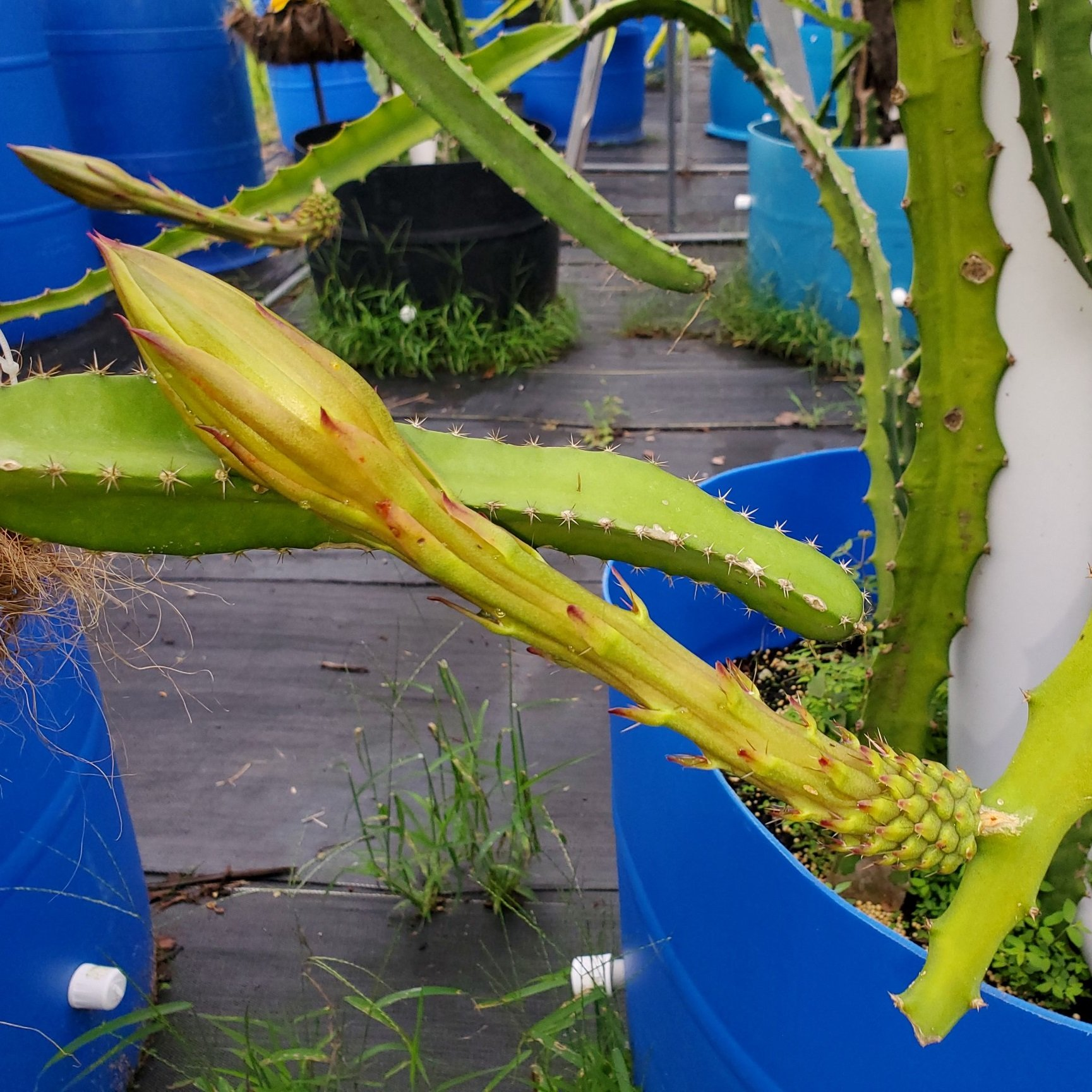Yellow Dragon Fruit Flower Bud