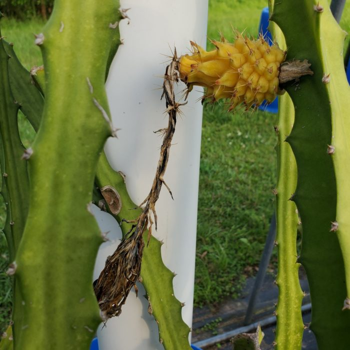 Yellow Dragon Fruit on vine