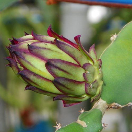 Dragon Fruit variety Zamorano flower bud