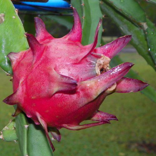 Dragon Fruit variety Zamorano fruit