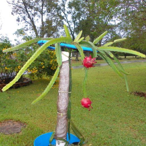 Dragon Fruit variety Zamorano plant